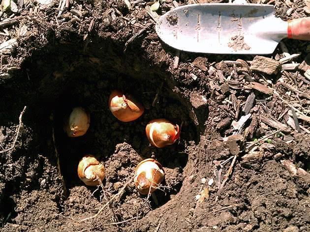 Сроки, когда лучше сажать тюльпаны осенью в Подмосковье