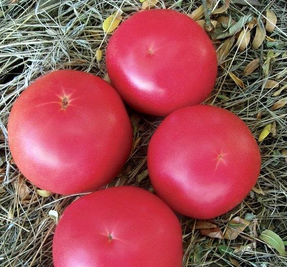Гибрид нового поколения — томат афен f1