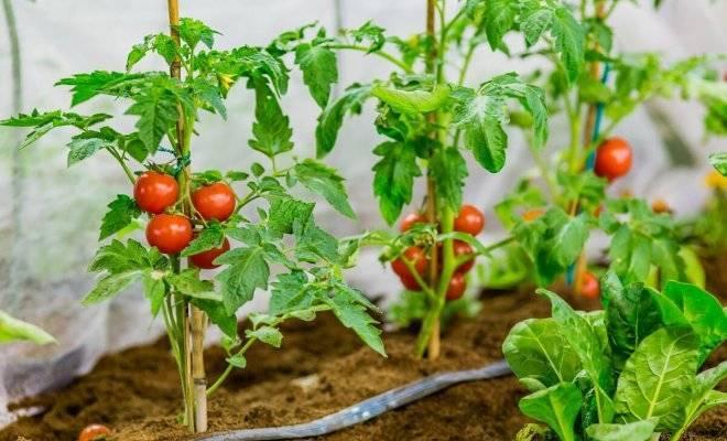 Как формировать кусты томатов в теплице: инструкция + видео