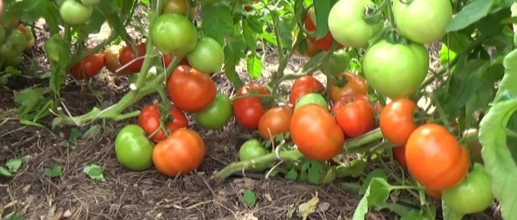 Фото, видео, отзывы, описание, характеристика, урожайность сорта томата «надежда f1»