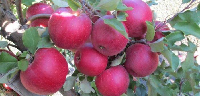 Описание и характеристики яблок сорта Айдаред, история и тонкости выращивания