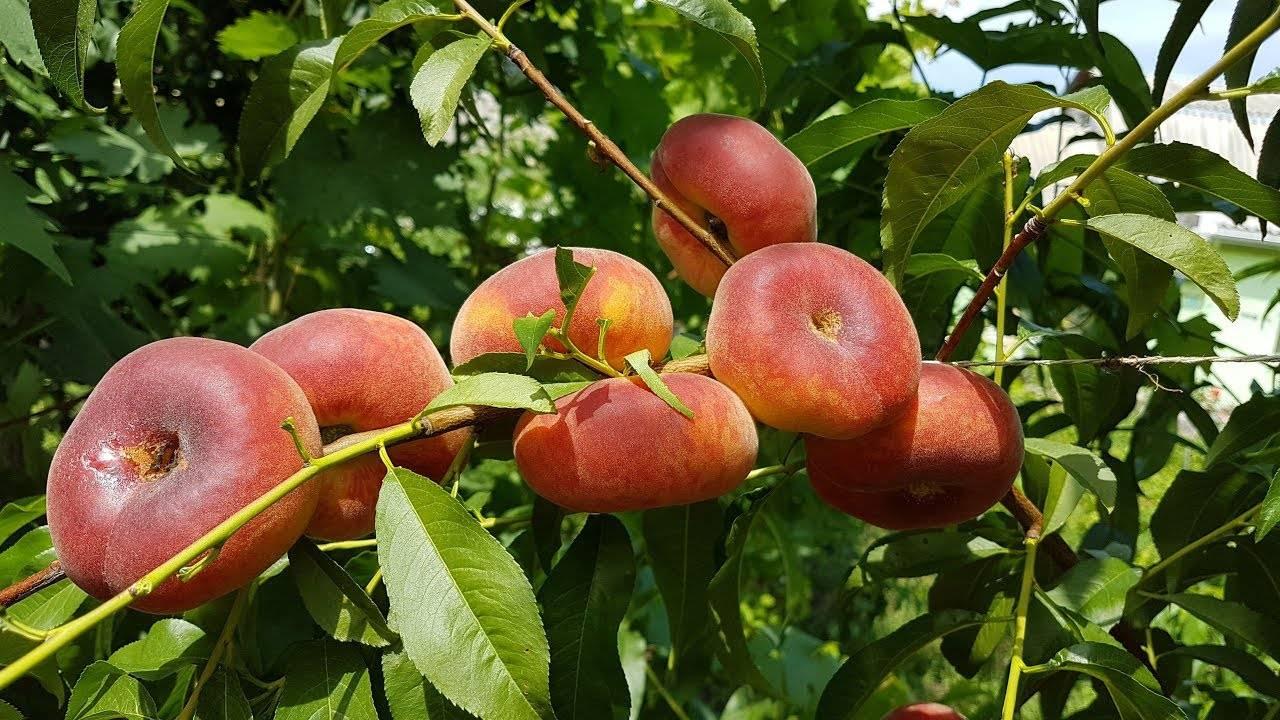 Выращивание колоновидного персика: посадка и уход, как правильно обрезать