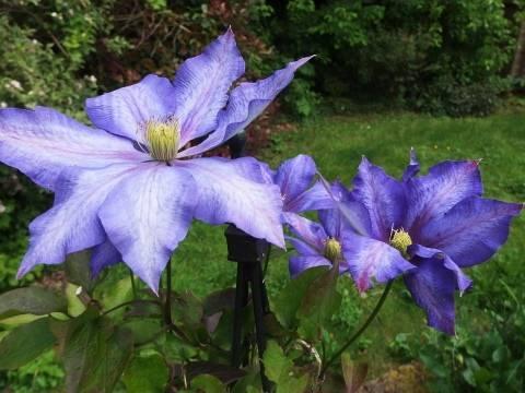 Голубые клематисы: обзор сортов