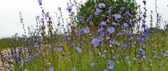 Голубой цветок цикорий, польза и вред для здоровья человека
