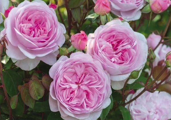 Пионовидная роза: посадка и уход в открытом грунте, правила выращивания