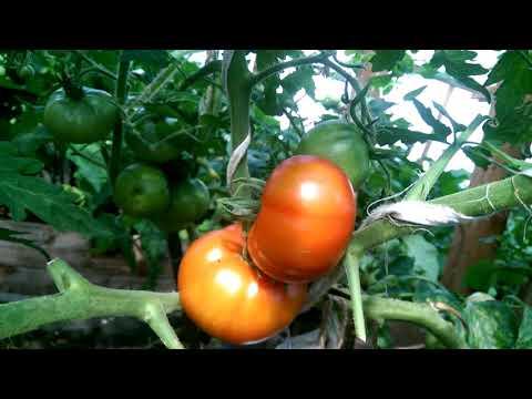 Выращивание томата подснежник