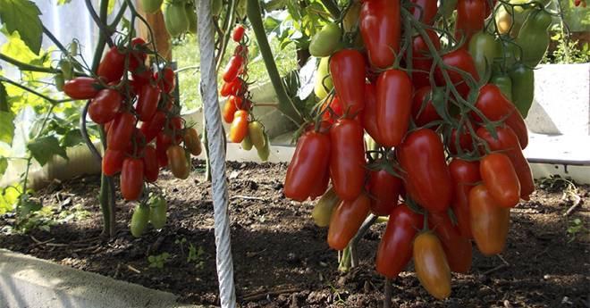 Томат афен: описание сорта, выращивание и уход с фото