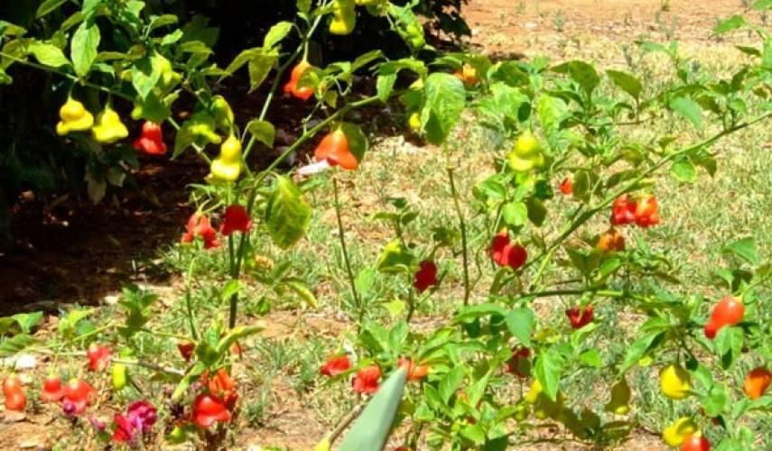 Перец колокольчик: описание сорта, фото, отзывы, характеристика плодов, достоинства и недостатки