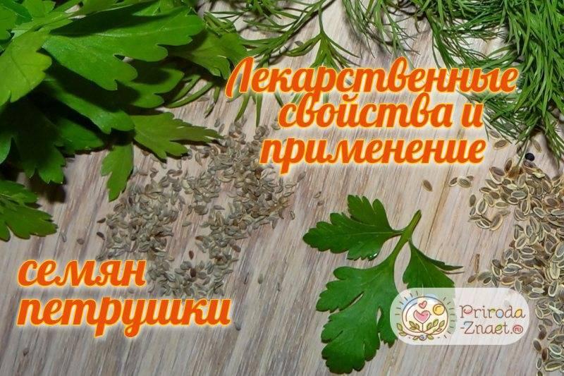 Лечебные свойства и противопоказания петрушки для организма человека