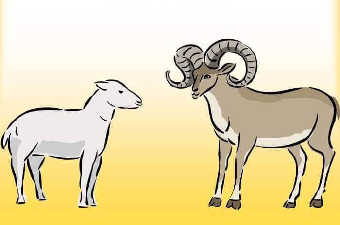 Особенности ягненка, детеныша овцы
