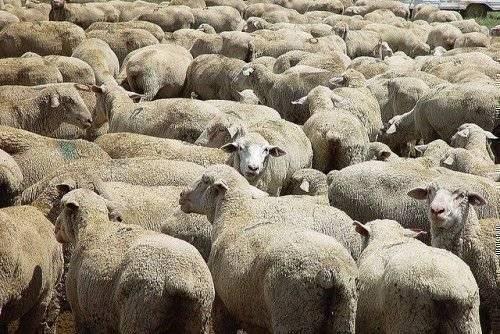 Анаэробная энтеротоксемия крупного рогатого скота
