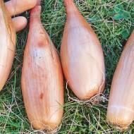 Лук репчатый бамбергер: описание сорта и особенности агротехники