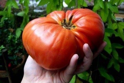 Томат новичок красный: отзывы, фото, урожайность