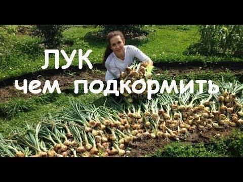 Чем подкормить лук?