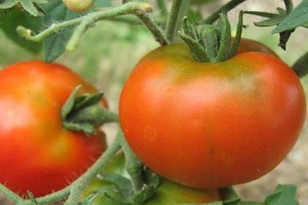 Описание и характеристики устойчивого к болезням гибридного сорта томата «ляна розовая»