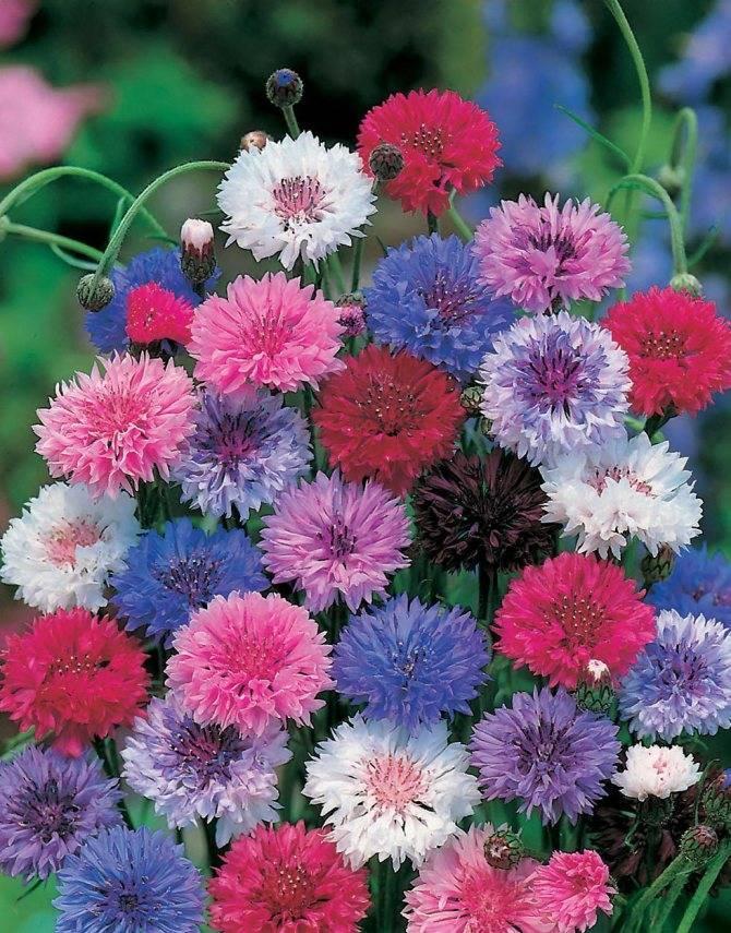 Василек садовый многолетний и однолетний посадка семенами и уход популярные сорта