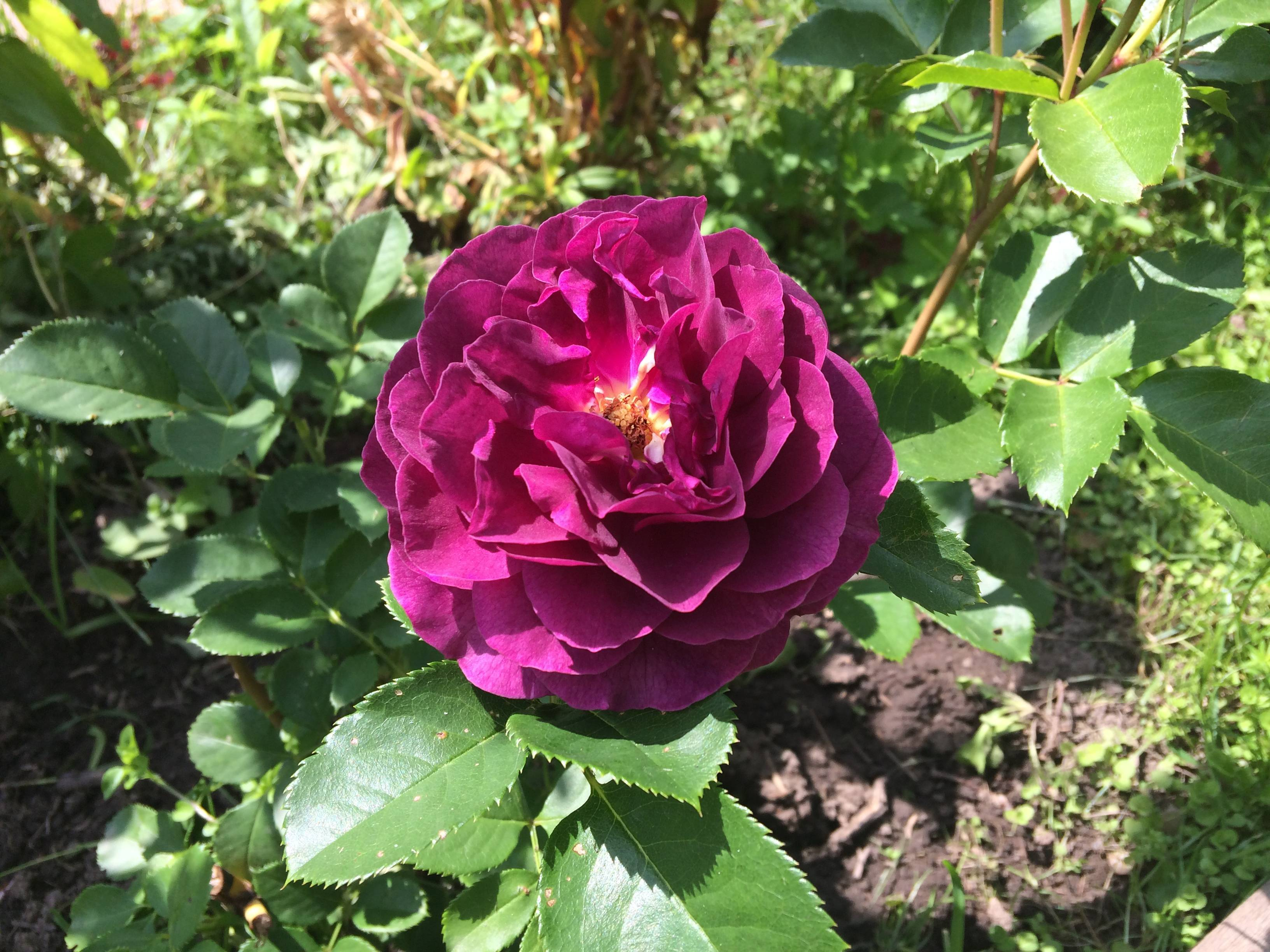 Роза муди блюз — основные правила содержания растения