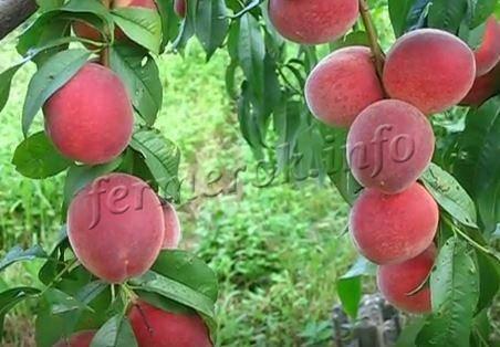 Персик киевский ранний — описание сорта и отзывы садоводов