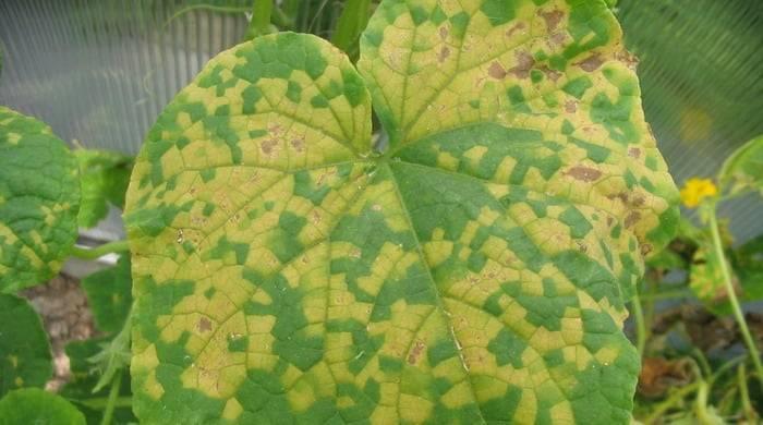 Что делать если у огурцов скручиваются листья