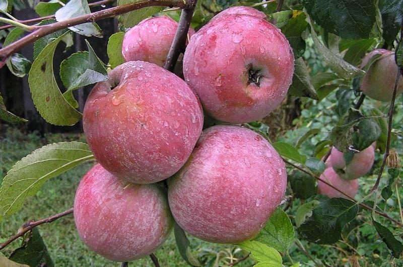 Как посадить яблоню уэлси? фото и отзывы