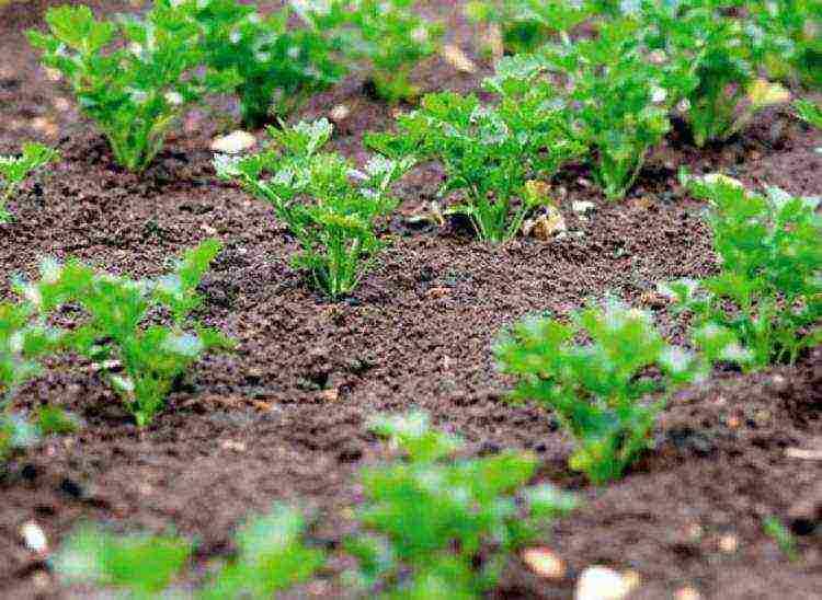 Выращивание петрушки в открытом грунте: полное руководство