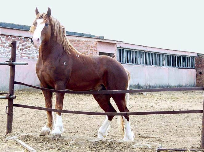 Гиганты конного мира: кто они самые большие лошади?