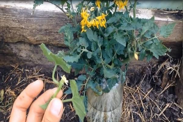 Как методом черенкования и размножения отводками укоренить пасынки огурцов?