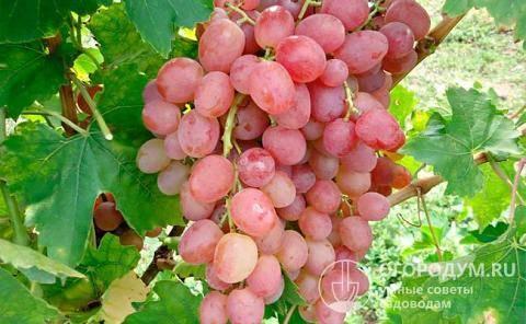 Ранний столовый виноград с розовыми гроздьями — преображение