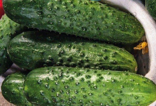 Описание лучших засолочных сортов огурцов для открытого грунта