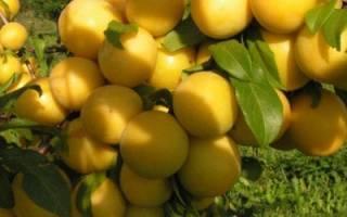 Жёлтая слива – подробное описание сорта