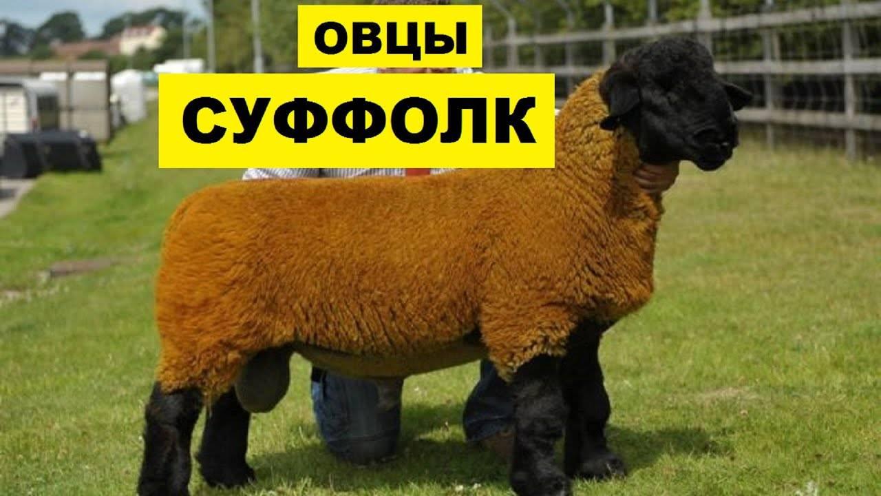 Молочные породы овец: список пород для разведения