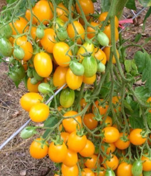 Томат золотая теща: характеристика и описание сорта, урожайность с фото
