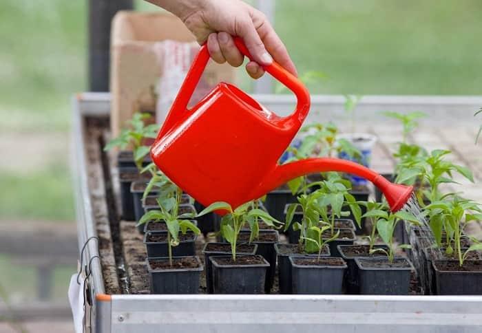 Подкормка рассады помидоров после пикировки