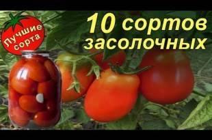 Томат вожак f1: описание и характеристика сорта, выращивание с фото