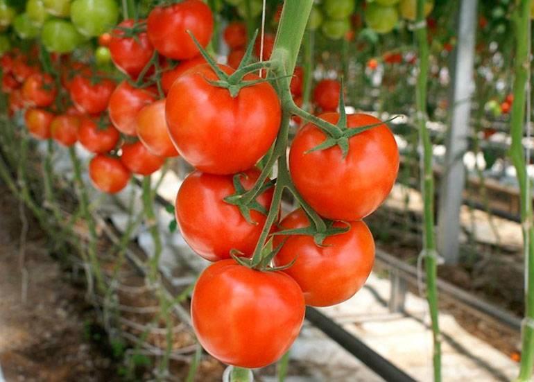 Лучший сорт для консервирования — описание и характеристики гибридного томата «каспар»