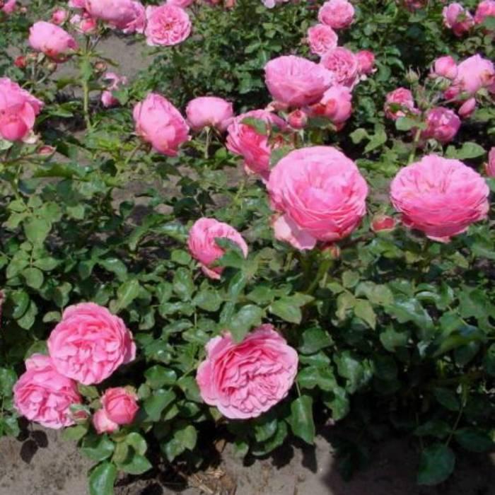 Роза леонардо да винчи (leonardo de vinci) — описание штамбового сорта