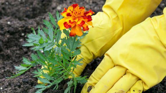 С какими растениями рядом можно и лучше поселить бархатцы?