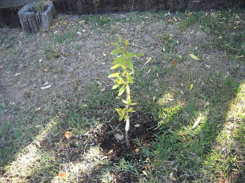 Миндаль: выращивание в саду, фото, виды и сорта, посадка и уход