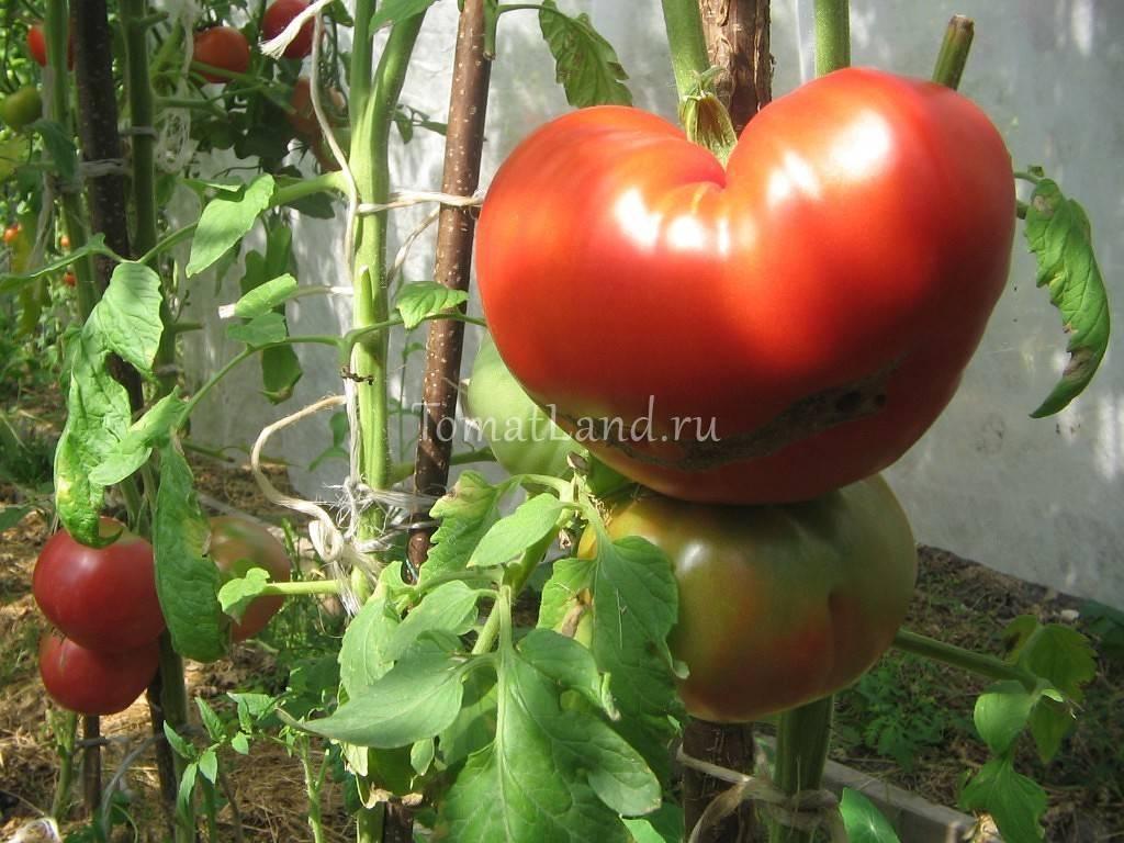 Описание и характеристики томата Райское наслаждение, урожайность