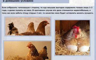 Сколько растить бройлеров до забоя: сколько нужно корма, время роста курицы