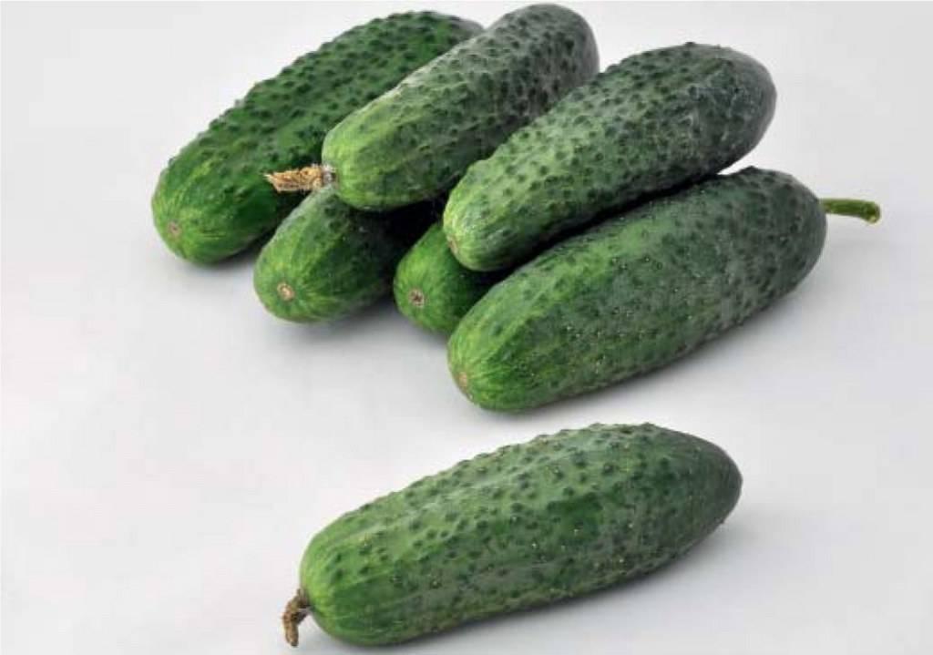 Огурец каролина f1: описание и характеристика сорта, урожайность с фото