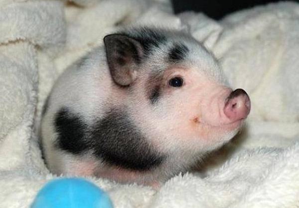 Сколько живут мини-пиги, и как увеличить продолжительность их жизни?