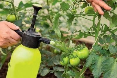 Бурая пятнистость на помидорах в теплице: как бороться