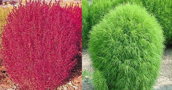 Обриета: фото, выращивание из семян, посадка и уход в открытом грунте