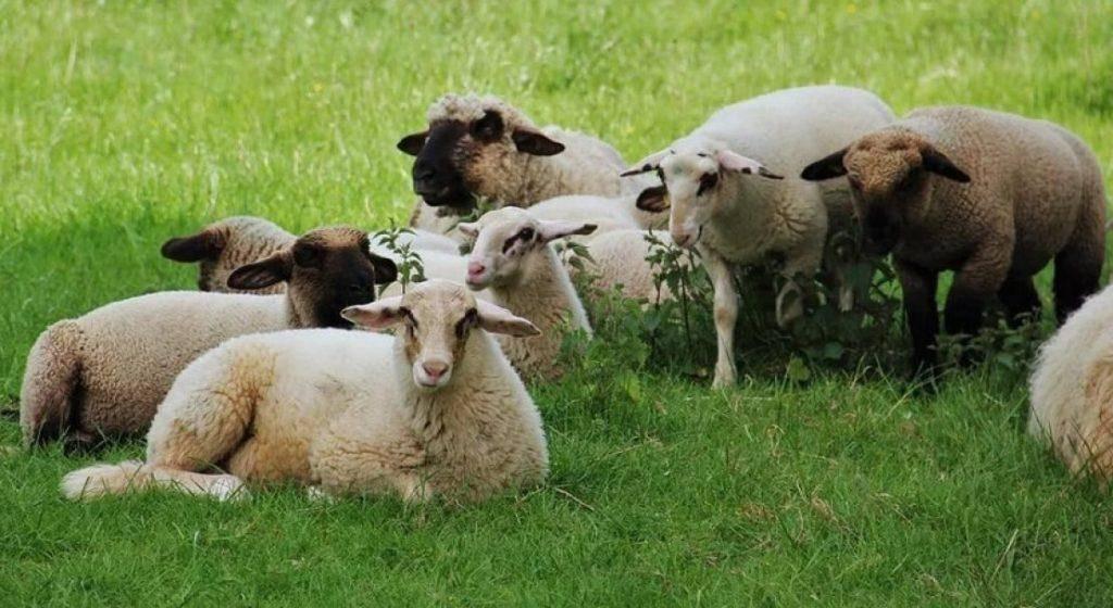 Карликовые колли: преданные друзья и лучшие пастухи
