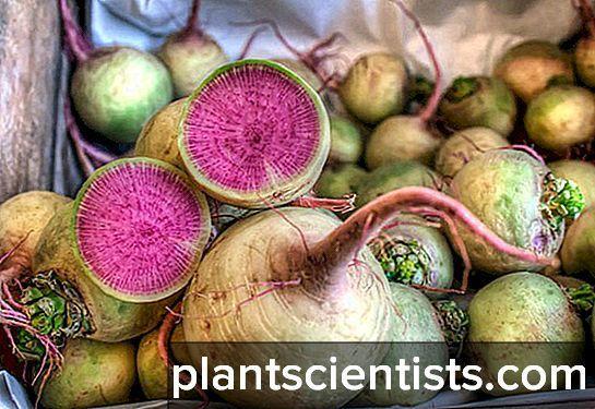 Арбузная редька полезные свойства и противопоказания. арбузная редька: особенности корнеплода, правила выращивания и хранения