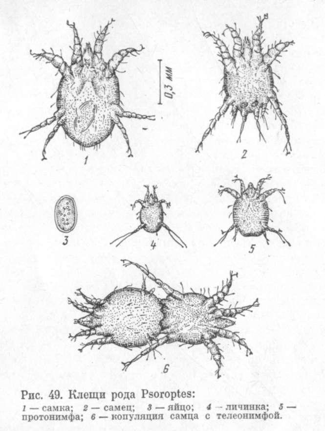 Описание и симптомы эстроза овец, паразитология и методы лечения