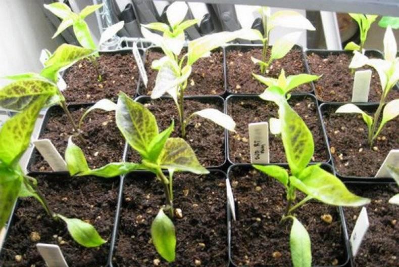 Почему желтеют листья у рассады: что делать, как и чем подкормить растения