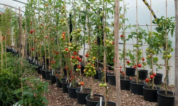 30 кг помидоров с одного куста: миф или реальность? все о методе выращивании томатов в бочке