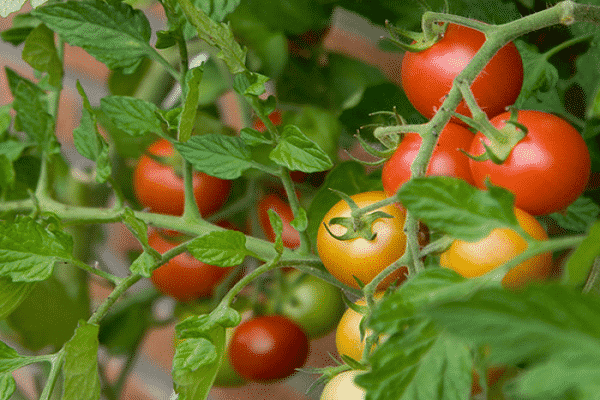 Томат барнаульский консервный: характеристика и описание сибирского сорта с фото